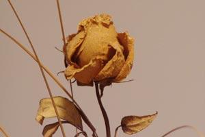 cmo hacer un bouquet de rosas secas