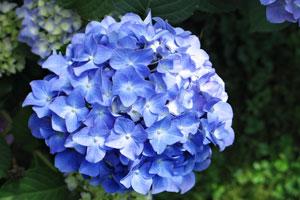 Arreglos Florales Con Hortensias